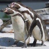 Pinguine auf Kuschelkurs