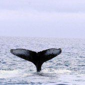 Sensation: Buckelwale in Ostsee überwintert