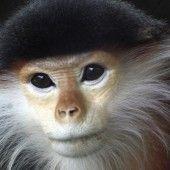 Wilderer töten bedrohte Affen