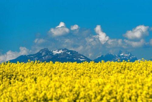 Ein Rapsfeld zwischen Hohenems und Dornbirn: Laut LK werden die Ackerflächen im Land immer weniger.  Foto: Stiplovsek