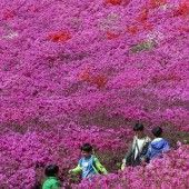 Azaleen-Festival in Südkorea