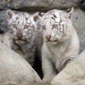 Schüchterne Raubkatzen