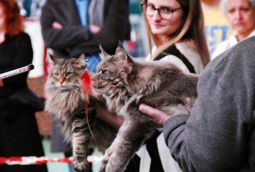 Preisrichter bewerten die Katzenschönheiten und küren die besten Tiere der Show.  Foto: Veranstalter