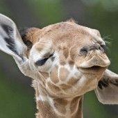 Giraffenbaby erfreut die Besucher