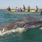 Grauwal schwimmt ein Mal um die halbe Erde