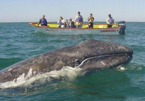 Touristen beobachten einen Grauwal im Pazifik vor der mexikanischen Küste. Foto: EPA