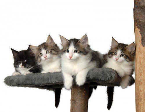 Wer kann da widerstehen? Entzückende kleine Waldkatzen. foto: wildfee