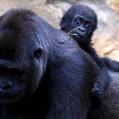Gorilla lässt es sich gut gehen