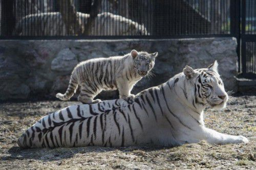 A white Bengal tiger cub plays with its mother in a zoo in the Siberian city of Novosibirsk, about 2,800 kilometers (1,750 miles) east of Moscow, Russia, Tuesday, April 21, 2015. Two blue-eyed Bengal tiger cubs were born in March to a couple of white tigers at Novosibirsk zoo. (AP photo/Ilnar Salakhiev)