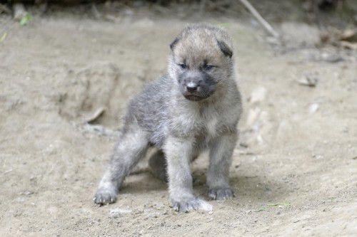 ABD0050_20150518 - WIEN - ÖSTERREICH: ZU APA0089 VOM 18.5.2015 - Das Rudel der Arktischen Wölfe im Wiener Tiergarten Schönbrunn ist um mindestens fünf Jungtiere angewachsen. Ob es noch mehr sind und ob alle durchkommen, wird sich erst in den nächsten Tagen zeigen. Im Bild: Eines der Jungtiere. - FOTO: APA/TIERGARTEN SCHÖNBRUNN/NORBERT POTENSKY - +++ WIR WEISEN AUSDRÜCKLICH DARAUF HIN, DASS EINE VERWENDUNG DES BILDES AUS MEDIEN- UND/ODER URHEBERRECHTLICHEN GRÜNDEN AUSSCHLIESSLICH IM ZUSAMMENHANG MIT DEM ANGEFÜHRTEN ZWECK ERFOLGEN DARF - VOLLSTÄNDIGE COPYRIGHTNENNUNG VERPFLICHTEND +++