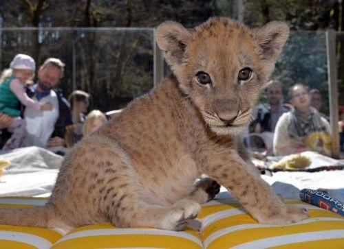 """ABD0068_20150421 - Löwenbaby Malor sitzt am 19.04.2015 im Eifel-Zoo in Lünebach in seinem Gehege, während Besucher ihn von außen beobachten. Malor ist einmal am Tag eine Stunde der absolute Star für die Besucher. Foto: Harald Tittel/dpa (zu lrs-Korr """"Star auf vier Pfoten: Löwenbaby Malor lockt Tausende an"""" vom 21.05.2015) +++(c) dpa - Bildfunk+++"""