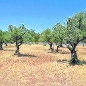Bestes Olivenöl aus Istrien