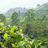 Teekultur der Insel Ceylon