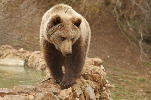 Der Bär zerstörte in Kärnten einige Bienenstöcke.  Foto: AP