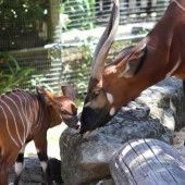 Seltenes Antilopenbaby