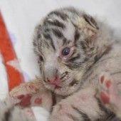 Tiger-Zuwachs in Polen