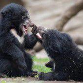 Nachwuchs bei den Lippenbären