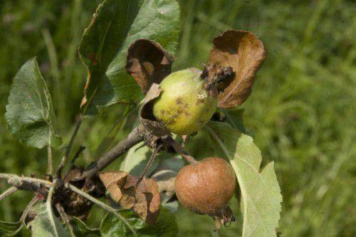 Heuer gibt es keine zerstörten Obstpflanzen.  Foto: VN/Hartinger