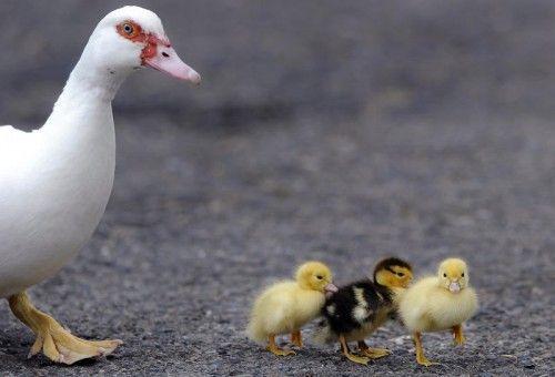 Nach der Rettung watschelten die Enten Richtung Park.  Foto: AP