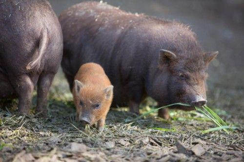 Über Nachwuchs freuen darf sich auch Familie Minischwein im Doppelmayr-Zoo in Wolfurt.