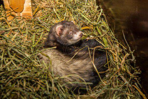 Vorarlberger Tierschutzheim, Frettchen weiblich geb. ca. 10.2010 Frettchen Nascha wurde am 7.5.2015 in Nenzing-Erlenau gefunden. Wer kennt sie oder ihre Besitzer? Hinweise bitte im Tierschutzheim melden!