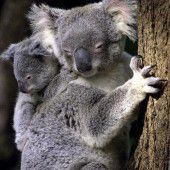 Süßer Koala-Zuwachs in Sydney