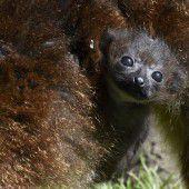 Süßer Lemuren-Nachwuchs