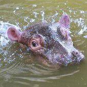 Flusspferd-Baby im Karlsruher Zoo