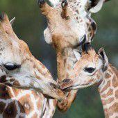 Munteres Giraffen-Trio
