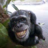 Schimpansen können wie Menschen lauthals und lautlos lachen