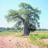 Beeindruckende Baobab-Bäume