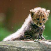 Baby-Raubkatzen begeistern Besucher