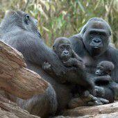 Gorillas lassen es sich gut gehen