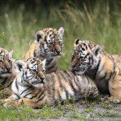 Tiger-Vierlinge im Berliner Tierpark
