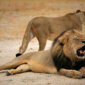 Große Empörung nach Abschuss von Löwe Cecil