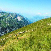 Bereits 20 gerissene Schafe auf Arlberger Alpen entdeckt