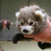 Sorge um rote Panda-Babys