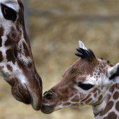 Giraffen-Baby in Duisburg