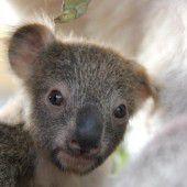Aufgeweckter kleiner Koala