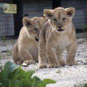 Löwen erkunden Auslauf