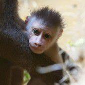 Süßer Affen-Nachwuchs