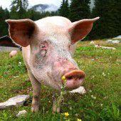 Erlebnis-Dinner: Running Alpschwein