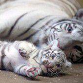 Seltener Tiger-Nachwuchs in Polen