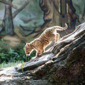 Tiger-Baby erkundet Umgebung