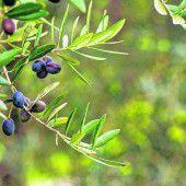 Gutes Olivenöl aus Korfu