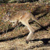 Rätsel um herrenloses Känguru in Deutschland