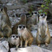 Niedliche Erdmännchen-Truppe