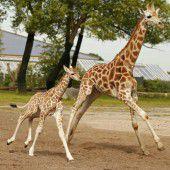 Giraffen laufen um die Wette
