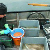 Fischer fürchten wegen Algenblüte um Felchenbestände im Bodensee