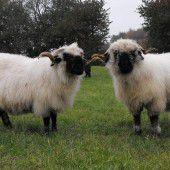 Schaf von Weide geklaut